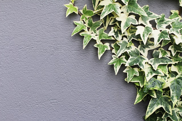 English ivy Air Purifying Plant